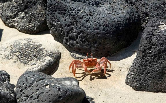 Red sally light-foot crab
