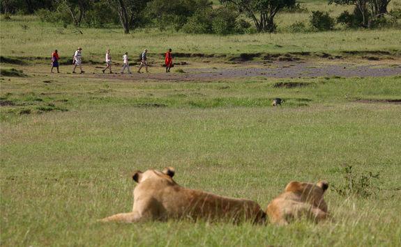 Seeing a lion on a bush walk