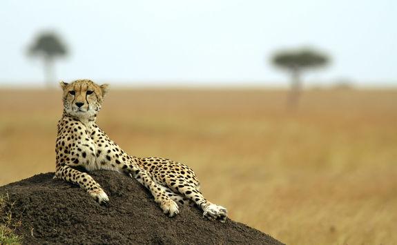 Cheetah in the Masai Mara