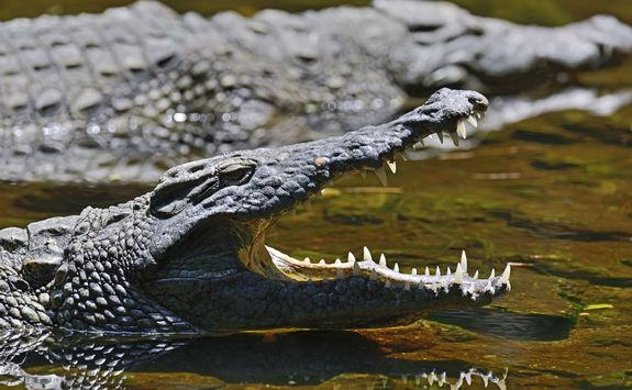 Crocodile in the Masai Mara