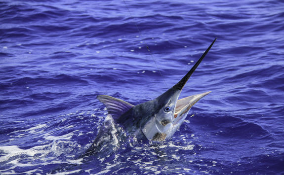 Black Marlin fish