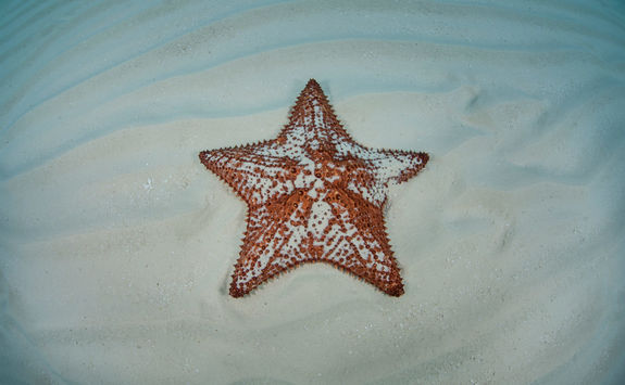 Starfish in Belize