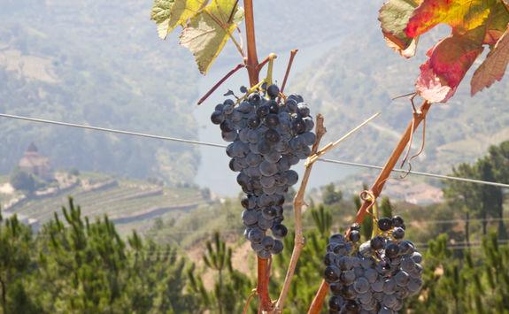 Douro grapes