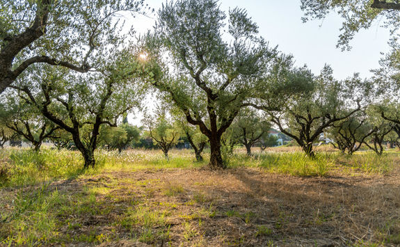 Olive grove, Greece