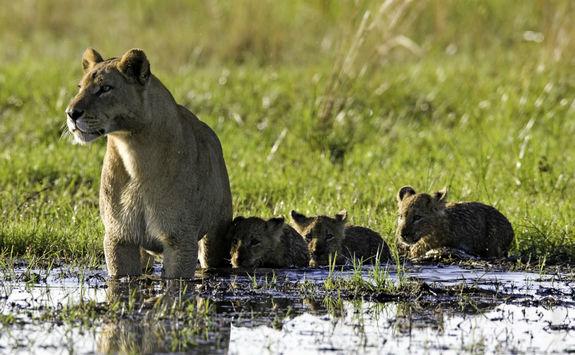 Lion family in Botswana