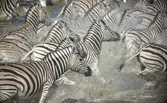 Zebras in Victoria Falls