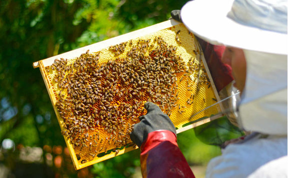 Beekeeper inspecting frame with honeycomb