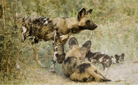 okavango wild dogs