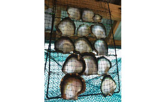 pearl oysters in net