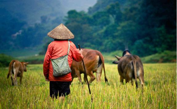 Buffalo shepherd on the rice field
