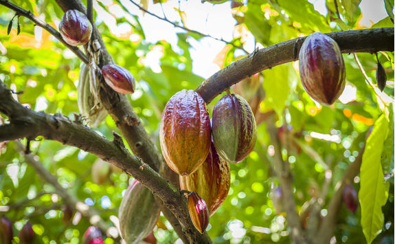 Cocoa growing in the Caraibbean