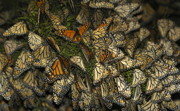 Close up of Monarch butterflies on branch