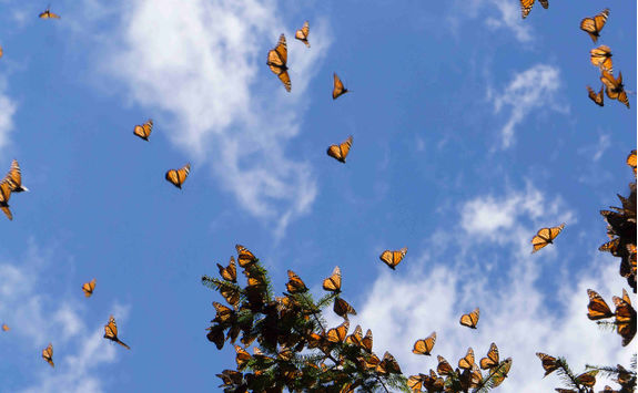 Large group of Monarch butterflies flying
