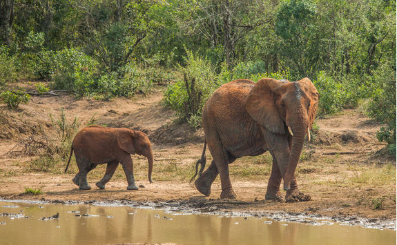 African Savannah elephants at a waterhole