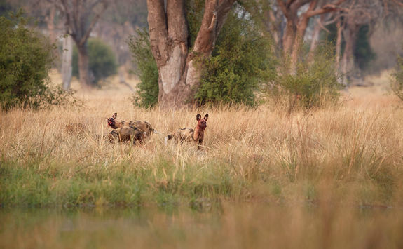 Wild dogs hunting desperate impalas in KwaZulu Natal