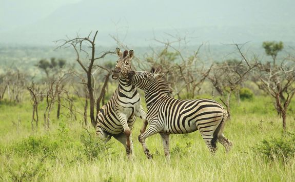 Zebra at Thanda