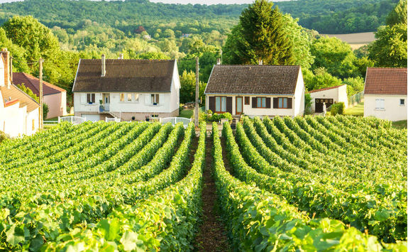 Row vine grape in Champagne vineyards