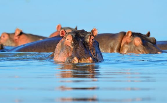 Hippo in the water