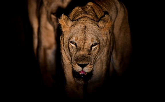 Lion during the night