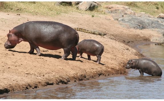 Hippos going out of a river