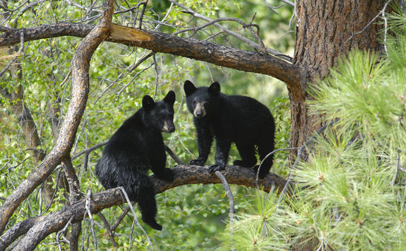 Two bears cubs sitting on a tree branch