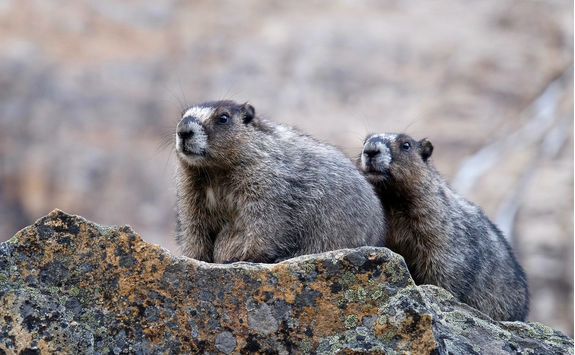 Hoary marmots on a rock