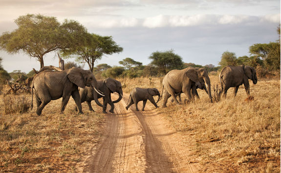 Elephant family crossing a path
