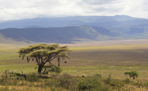 Tree at Ngorongoro crater
