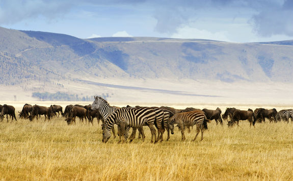 Zebra and wildebeest at Ngorongoro crater