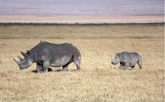 Black rhinoceros mother and baby
