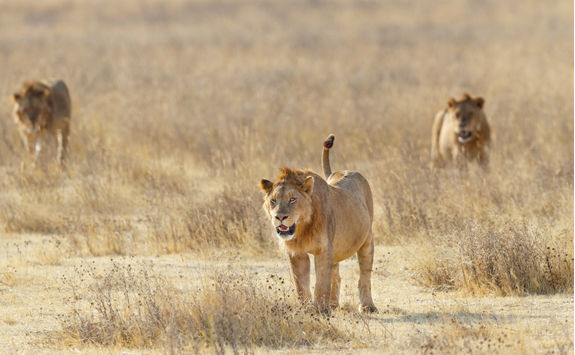 Lion pride stalking across Ngorongoro