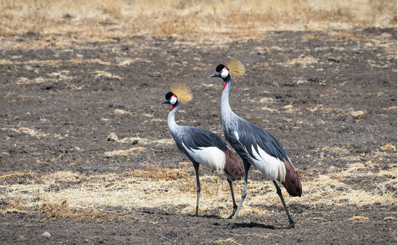Grey crowned crane couple