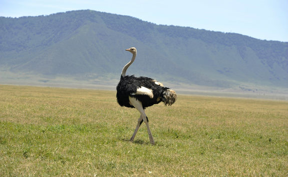 Ostrich walking in Ngorongoro crater