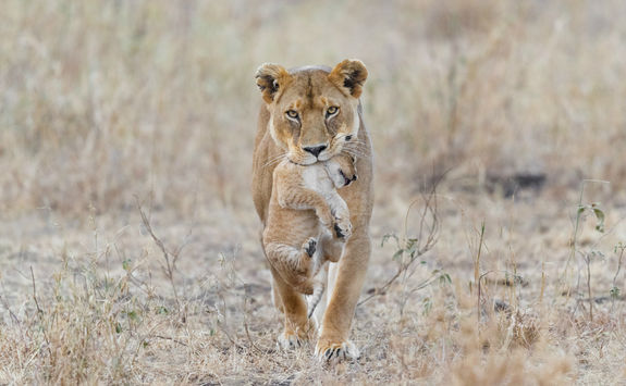 Mother lion carrying cub in Serengeti National Park