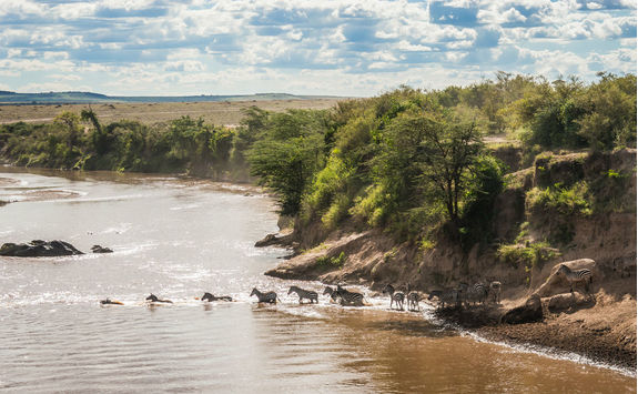 Zebras and wildebeest crossing the river during migration