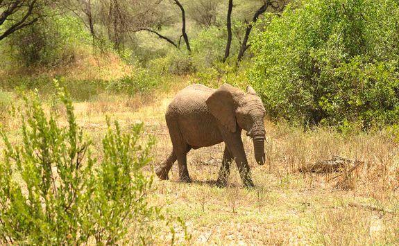 Lake Manyara elephant