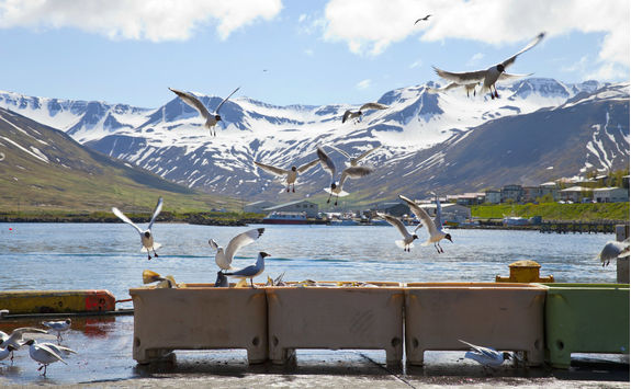 Seagulls flying at Siglufjorour harbour
