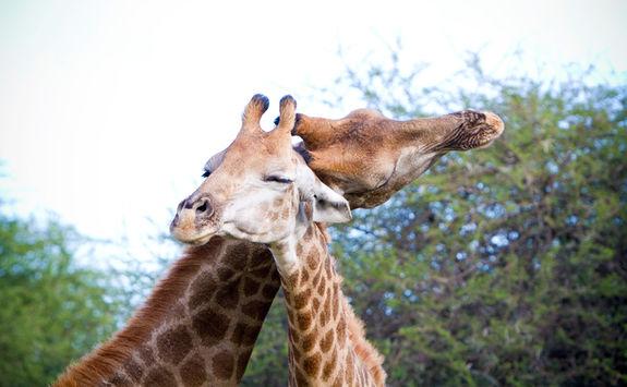 Giraffes bonding