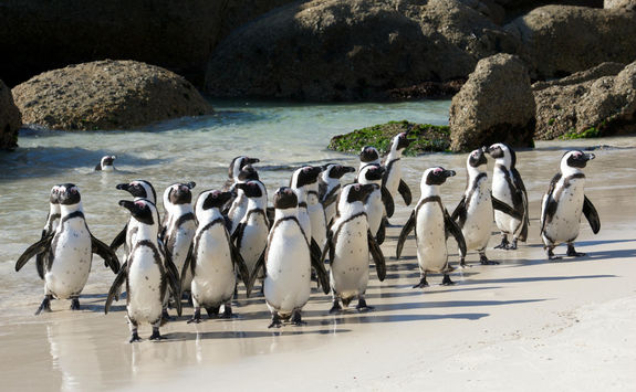 Penguins Walking on Beach