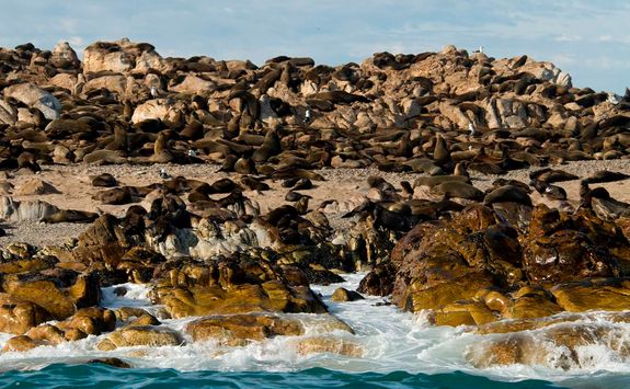 Cape Fur Seals Grootbos