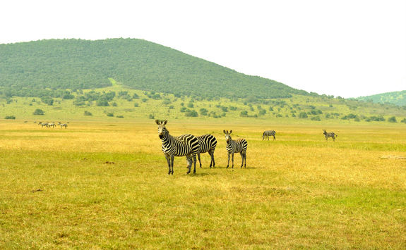Akagera National Park Zebras