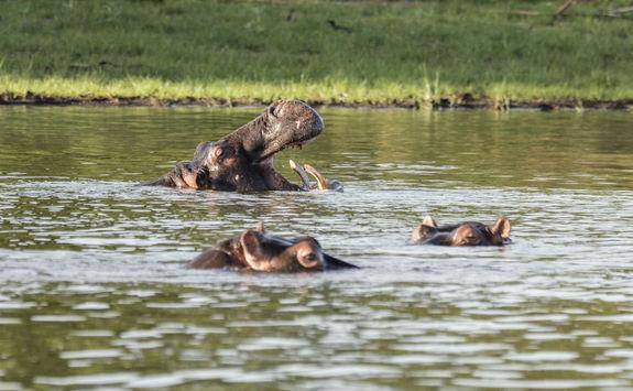 Akagera National Park hippos