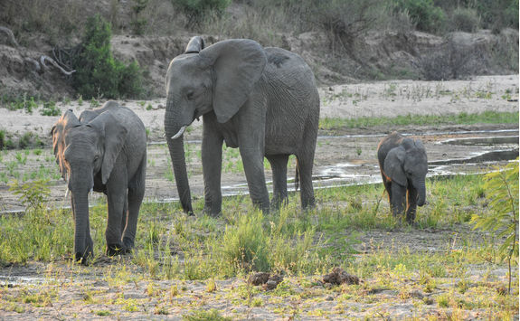 Family of elephants in Sabi Sands Game Reserve