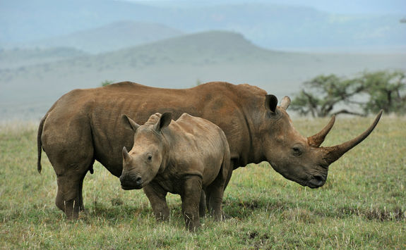 Baby clack rhino and mother