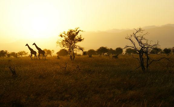 Giraffes in the wild savanna sunset