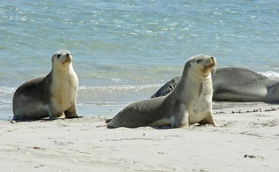 Sea lions in Kangaroo Island