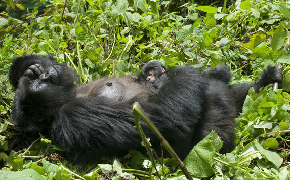 Mother and Baby Gorilla Sleeping