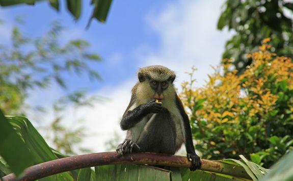 Grenada monkey