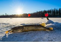 Pike fish are the catch-of-the-day