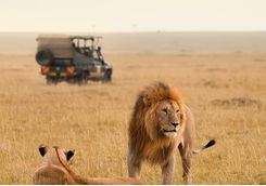 Lions by safari vehicle